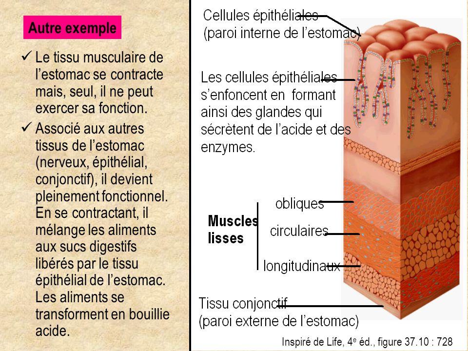 Le tissu musculaire de l'estomac se contracte mais, seul, il ne peut exercer sa fonction. Associé aux autres tissus de l'estomac (nerveux, épithélial,