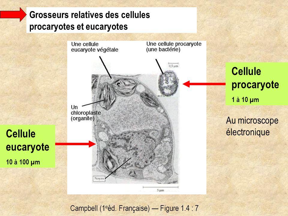 Campbell (1 e éd. Française) — Figure 1.4 : 7 Au microscope électronique Grosseurs relatives des cellules procaryotes et eucaryotes Cellule eucaryote