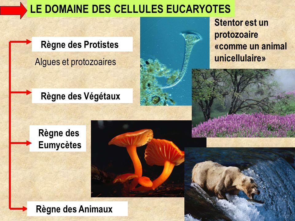 Règne des Eumycètes Règne des Protistes Algues et protozoaires Stentor est un protozoaire «comme un animal unicellulaire» Règne des Animaux LE DOMAINE