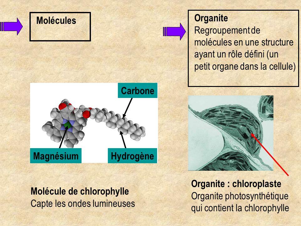 Organite Organite : chloroplaste Organite photosynthétique qui contient la chlorophylle Cellule Regroupement des organites et des molécules en une unité vivante, capable de se reproduire et jouant un rôle déterminé Cellules de la feuille