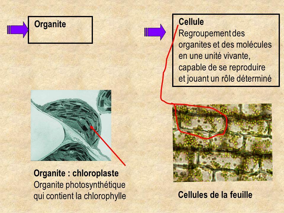 Organite Organite : chloroplaste Organite photosynthétique qui contient la chlorophylle Cellule Regroupement des organites et des molécules en une uni