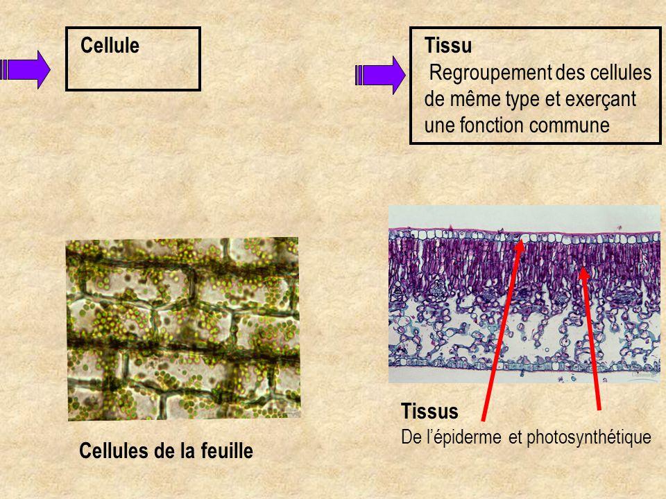 Cellule Cellules de la feuille Tissu Regroupement des cellules de même type et exerçant une fonction commune Tissus De l'épiderme et photosynthétique