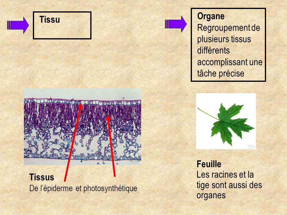 Tissu Tissus De l'épiderme et photosynthétique Organe Regroupement de plusieurs tissus différents accomplissant une tâche précise Feuille Les racines