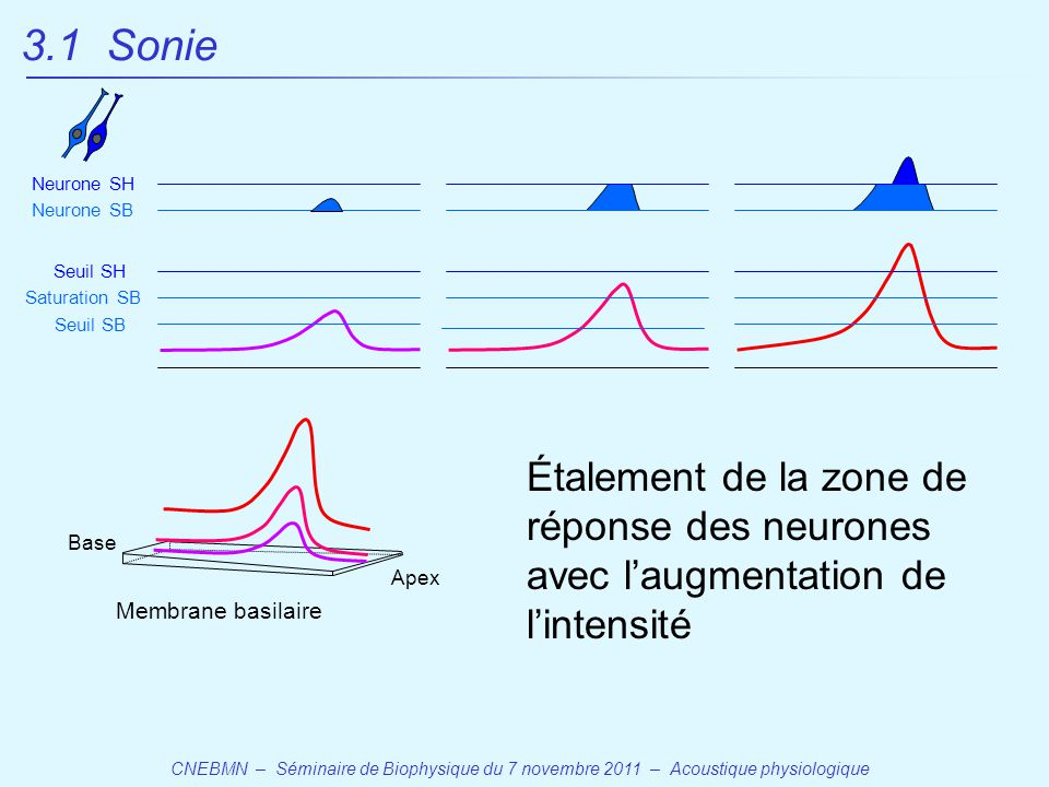 CNEBMN – Séminaire de Biophysique du 7 novembre 2011 – Acoustique physiologique Base Apex Membrane basilaire Seuil SB Seuil SH Saturation SB Neurone SB Neurone SH Étalement de la zone de réponse des neurones avec l'augmentation de l'intensité 3.1 Sonie