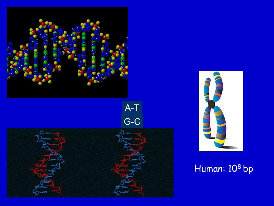A-T G-C Human: 10 8 bp
