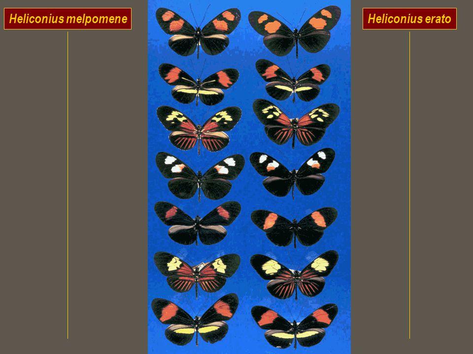 Heliconius melpomeneHeliconius erato