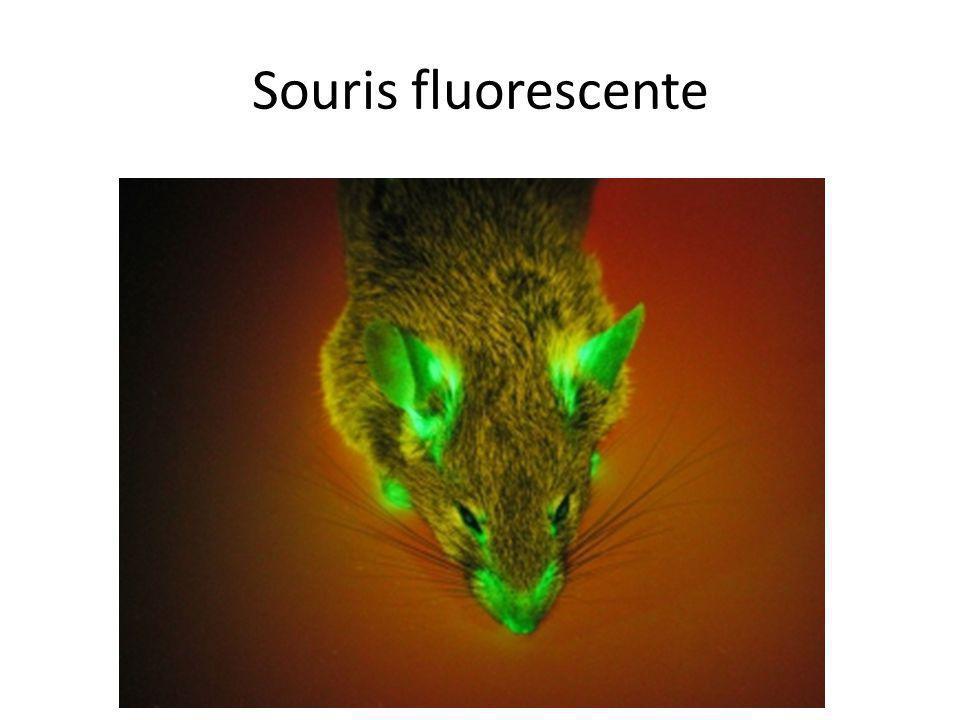 Souris fluorescente