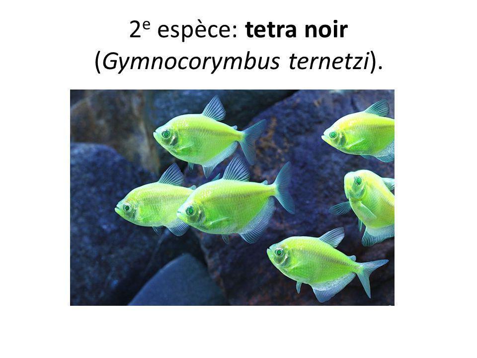 2 e espèce: tetra noir (Gymnocorymbus ternetzi).
