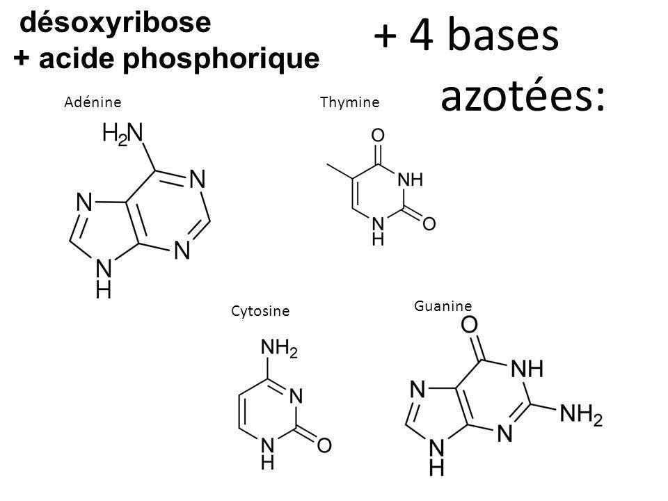 AdénineThymine Cytosine Guanine + 4 bases azotées: désoxyribose + acide phosphorique