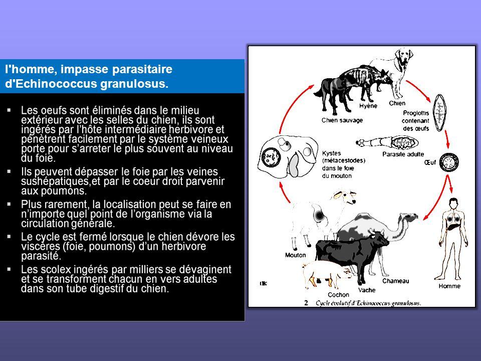 l'homme, impasse parasitaire d'Echinococcus granulosus.