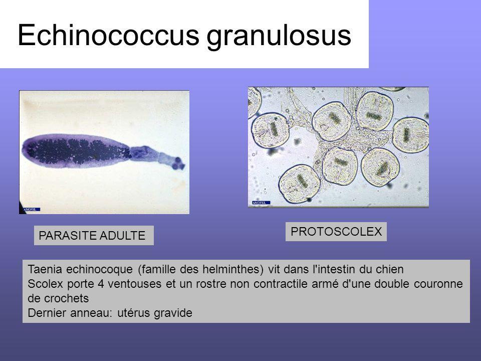 Echinococcus granulosus Taenia echinocoque (famille des helminthes) vit dans l'intestin du chien Scolex porte 4 ventouses et un rostre non contractile