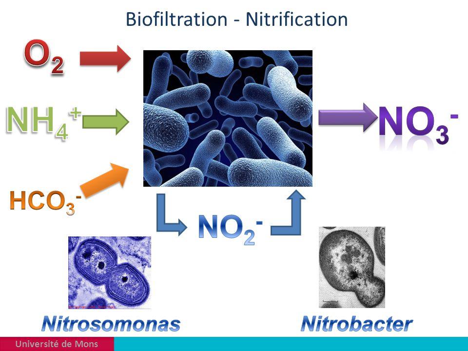 Université de Mons Biofiltration - Nitrification