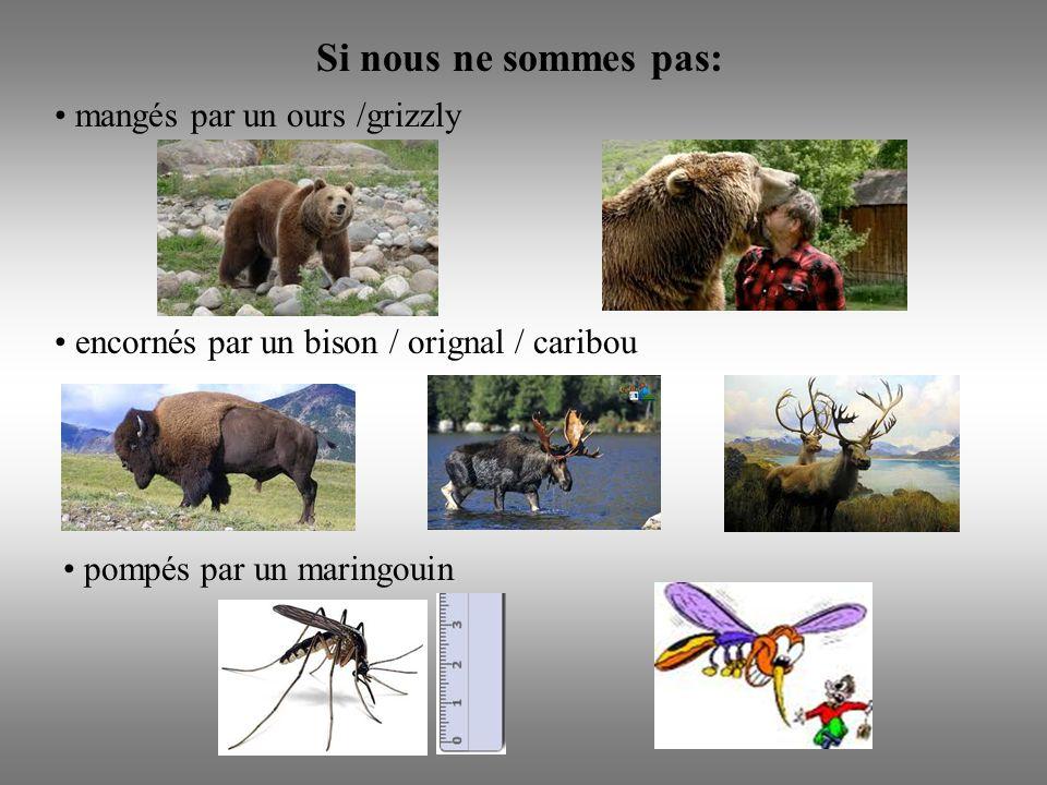 Si nous ne sommes pas: mangés par un ours /grizzly encornés par un bison / orignal / caribou pompés par un maringouin