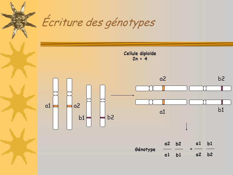 Écriture des génotypes a1 b1 Génotype Cellule diploïde 2n = 4 a2 b2 a2 a1 a2 a1 b1 b2 b1 = a1 a2 b1 b2