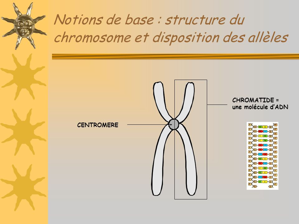 Notions de base : structure du chromosome et disposition des allèles LOCUS SPECIFIQUE DU GÈNE A (allèles a1 ; a2 ; …) LOCUS SPECIFIQUE DU GÈNE B (allèles b1 ; b2 ; …)