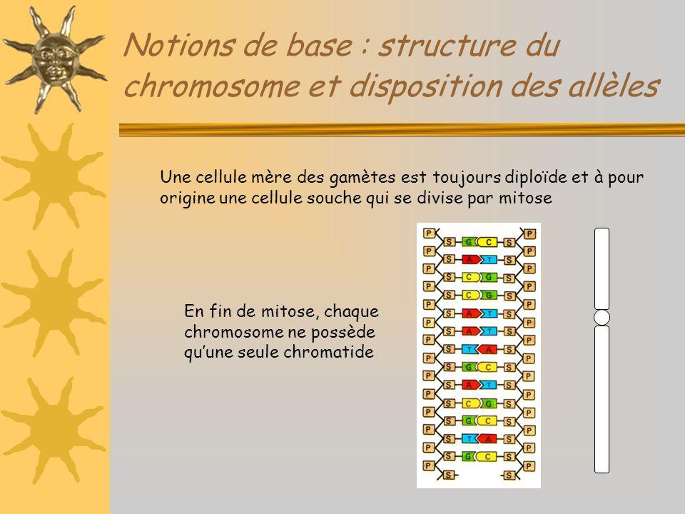 Notions de base : structure du chromosome et disposition des allèles Une cellule mère des gamètes est toujours diploïde et à pour origine une cellule