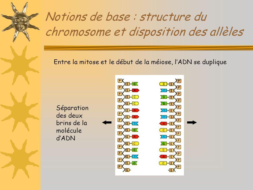 Notions de base : structure du chromosome et disposition des allèles Entre la mitose et le début de la méiose, l'ADN se duplique Séparation des deux b