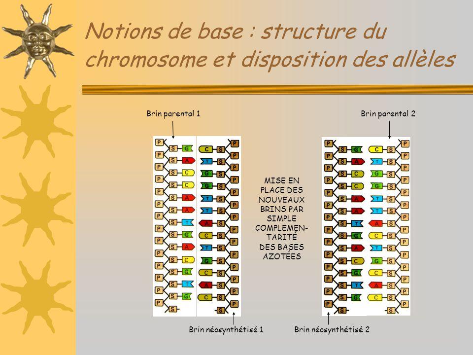 Notions de base : structure du chromosome et disposition des allèles MISE EN PLACE DES NOUVEAUX BRINS PAR SIMPLE COMPLEMEN- TARITÉ DES BASES AZOTÉES B
