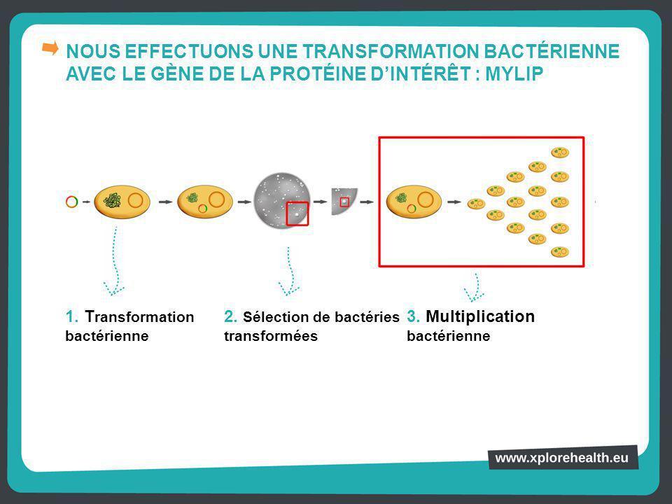 NOUS EFFECTUONS UNE TRANSFORMATION BACTÉRIENNE AVEC LE GÈNE DE LA PROTÉINE D'INTÉRÊT : MYLIP 1. T ransformation bactérienne 2. Sélection de bactéries