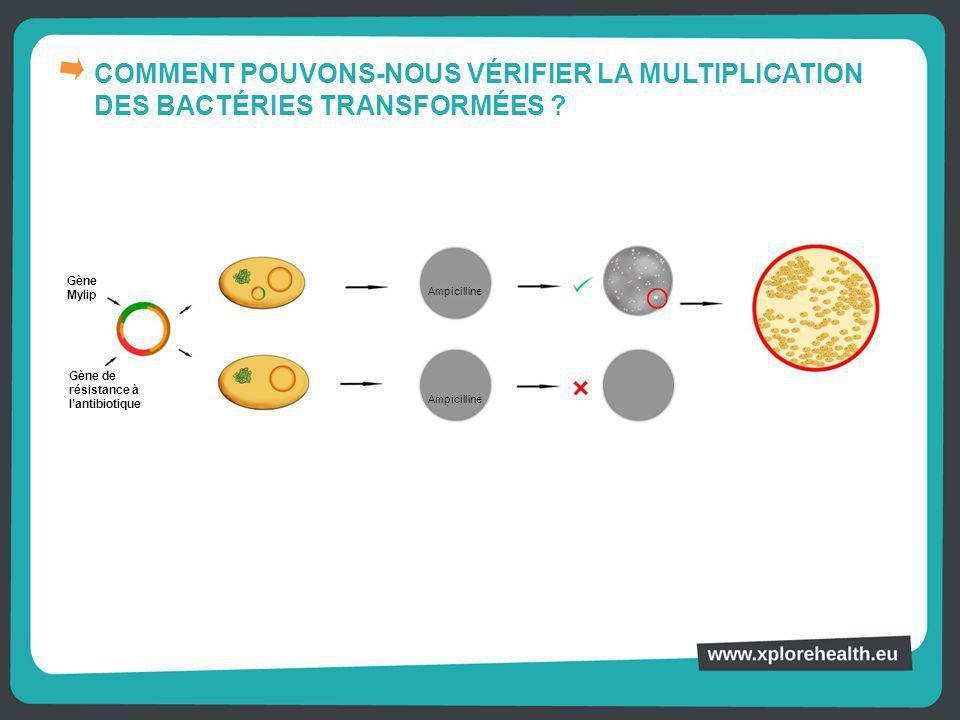 COMMENT POUVONS-NOUS VÉRIFIER LA MULTIPLICATION DES BACTÉRIES TRANSFORMÉES ? Ampicilline Gène Mylip Gène de résistance à l'antibiotique Ampicilline