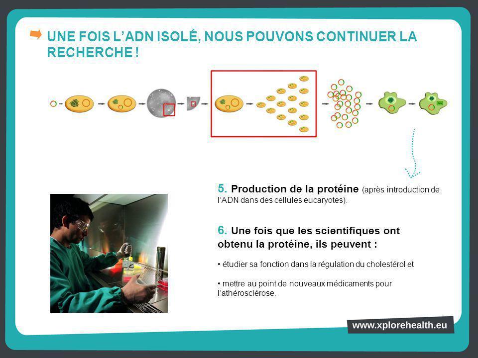 UNE FOIS L'ADN ISOLÉ, NOUS POUVONS CONTINUER LA RECHERCHE ! 5. Production de la protéine (après introduction de l'ADN dans des cellules eucaryotes). 6