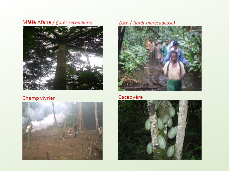 Mféfé Afane / (forêt secondaire) Champ vivrier Zam / (forêt marécageuse) Cacaoyère
