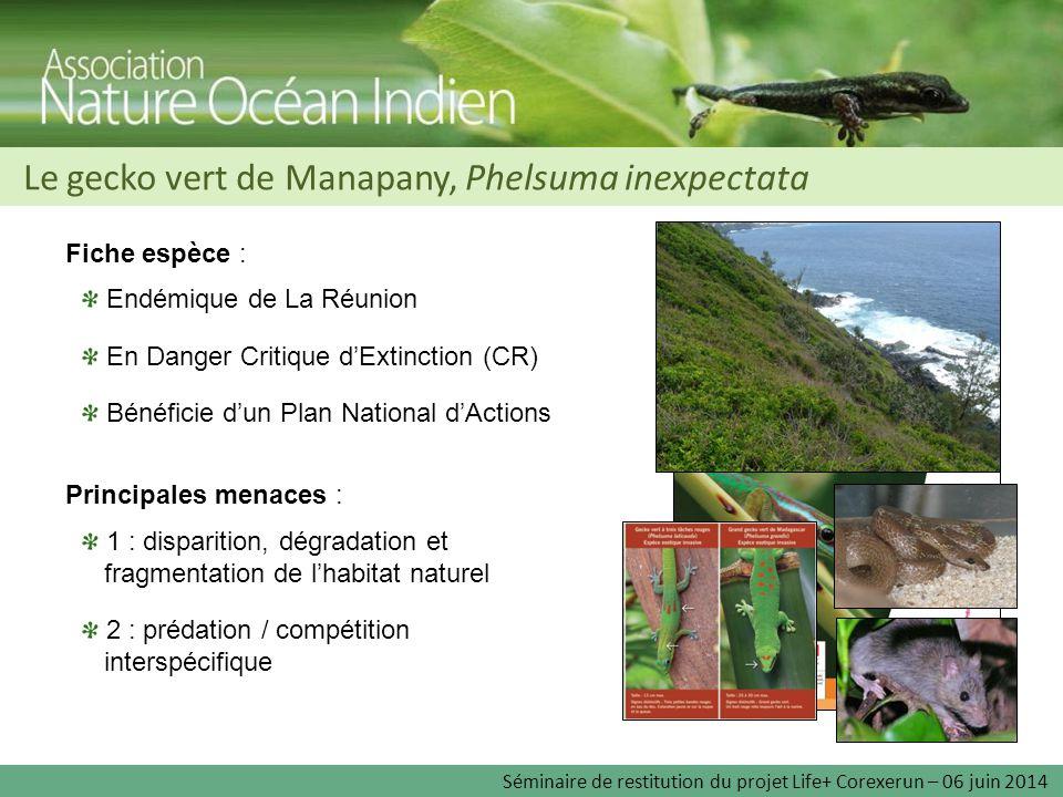 Le gecko vert de Manapany, Phelsuma inexpectata Endémique de La Réunion En Danger Critique d'Extinction (CR) Bénéficie d'un Plan National d'Actions Fi