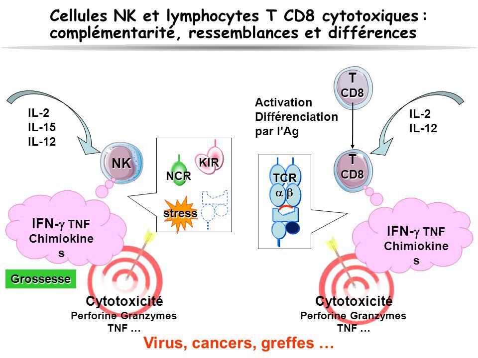 T CD8 T CD8 T CD8 T CD8 Activation Différenciation par l'Ag Cytotoxicité Perforine Granzymes TNF … IFN-  TNF Chimiokine s Cytotoxicité Perforine Gran