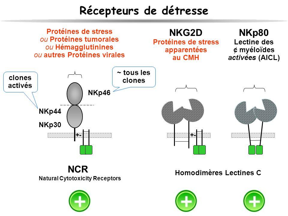 Récepteurs de détresse NCR Natural Cytotoxicity Receptors Protéines de stress ou Protéines tumorales ou Hémagglutinines ou autres Protéines virales +-