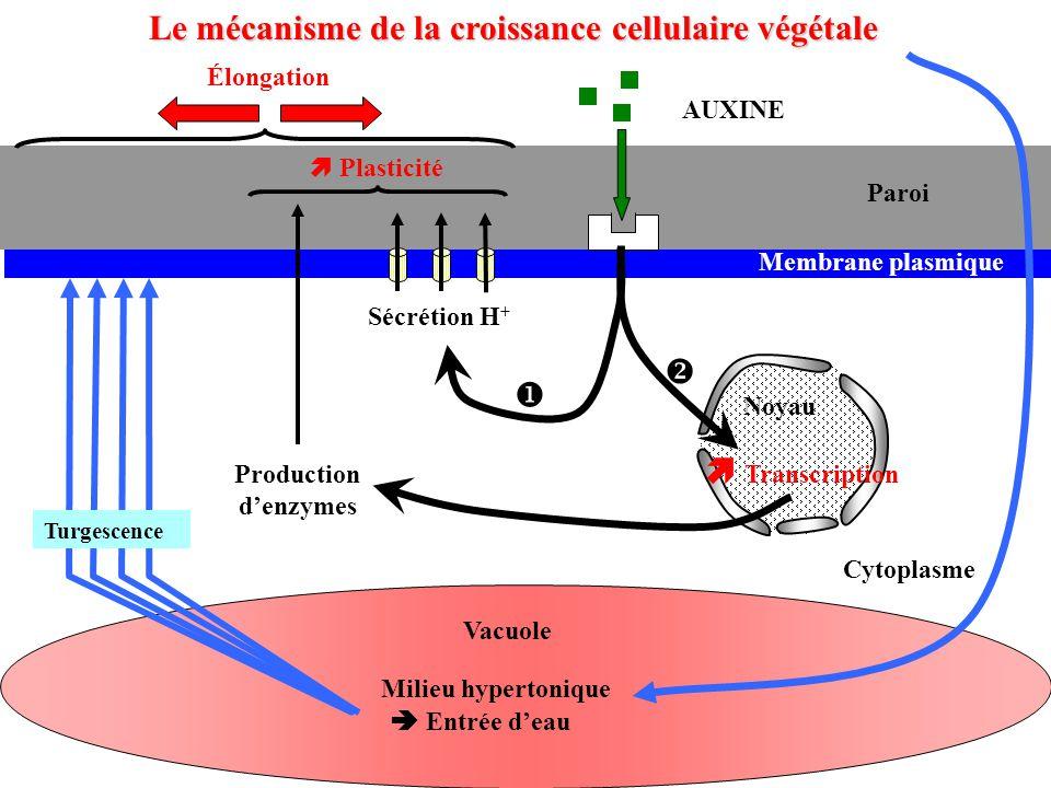 vacuole Cytoplasme Membrane plasmique Vacuole Sécrétion H + Production d'enzymes Turgescence Paroi AUXINE Noyau  Plasticité   Transcription  Milieu hypertonique  Entrée d'eau Élongation Le mécanisme de la croissance cellulaire végétale