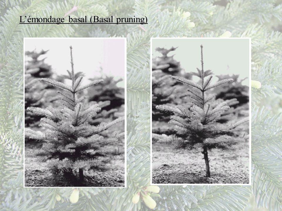 L'émondage basal (Basal pruning)
