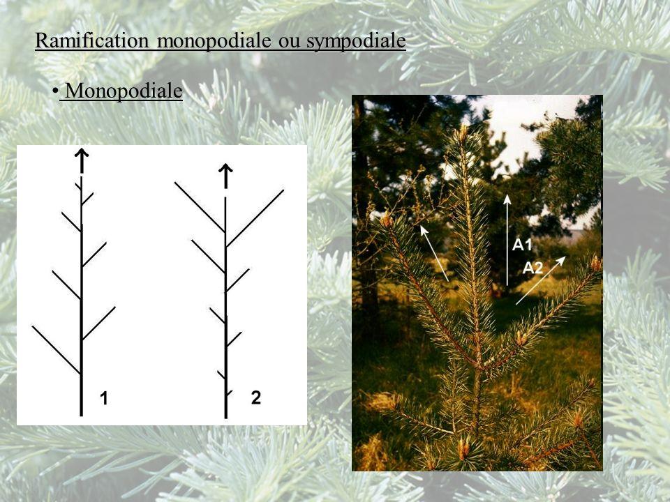 Ramification monopodiale ou sympodiale Monopodiale