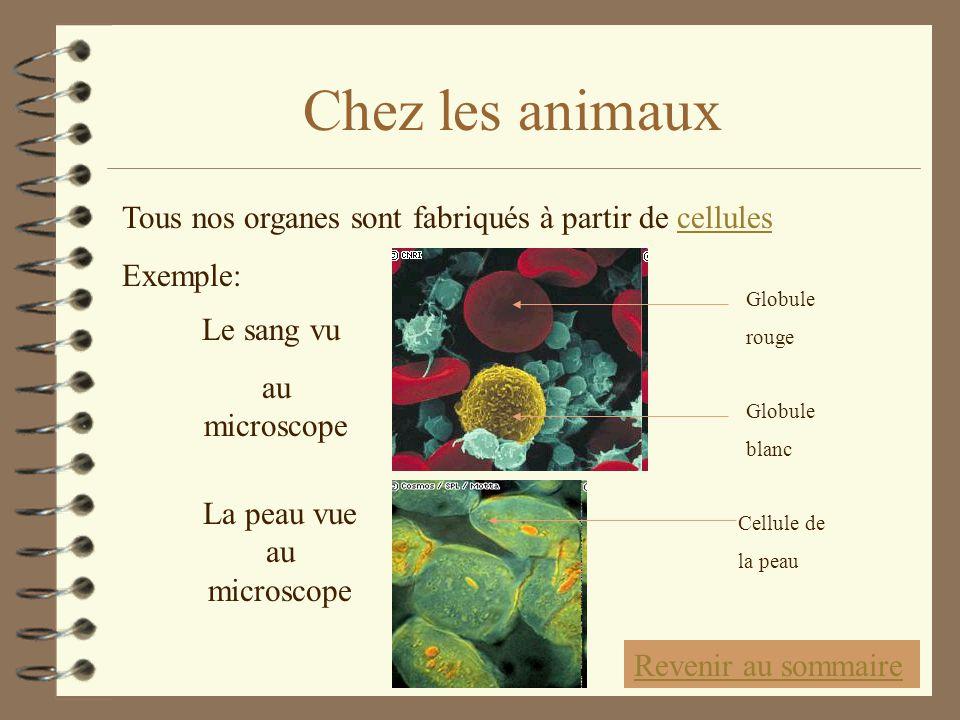 Chez les animaux Tous nos organes sont fabriqués à partir de cellulescellules Exemple: Le sang vu au microscope La peau vue au microscope Globule roug