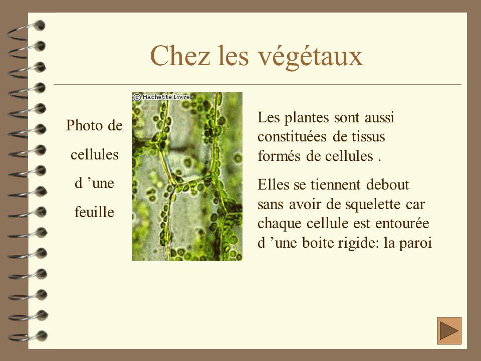 Chez les végétaux Photo de cellules d 'une feuille Les plantes sont aussi constituées de tissus formés de cellules. Elles se tiennent debout sans avoi