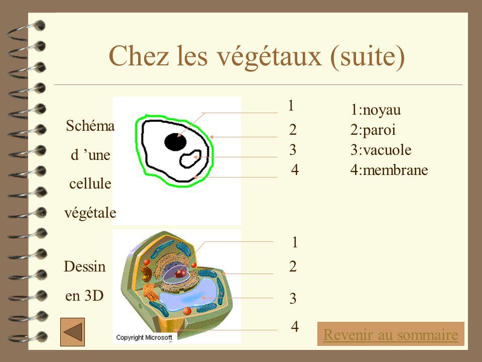 Chez les végétaux (suite) 1 2 3 4 1 2 3 4 1:noyau 2:paroi 3:vacuole 4:membrane Schéma d 'une cellule végétale Dessin en 3D Revenir au sommaire