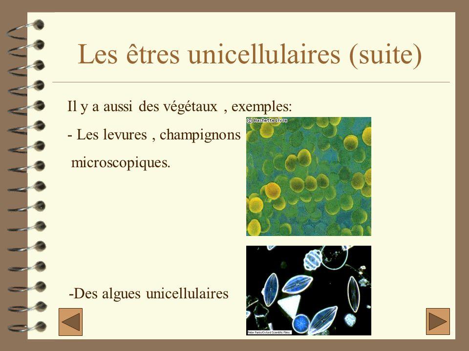 Les êtres unicellulaires (suite) Il y a aussi des végétaux, exemples: - Les levures, champignons microscopiques. -Des algues unicellulaires