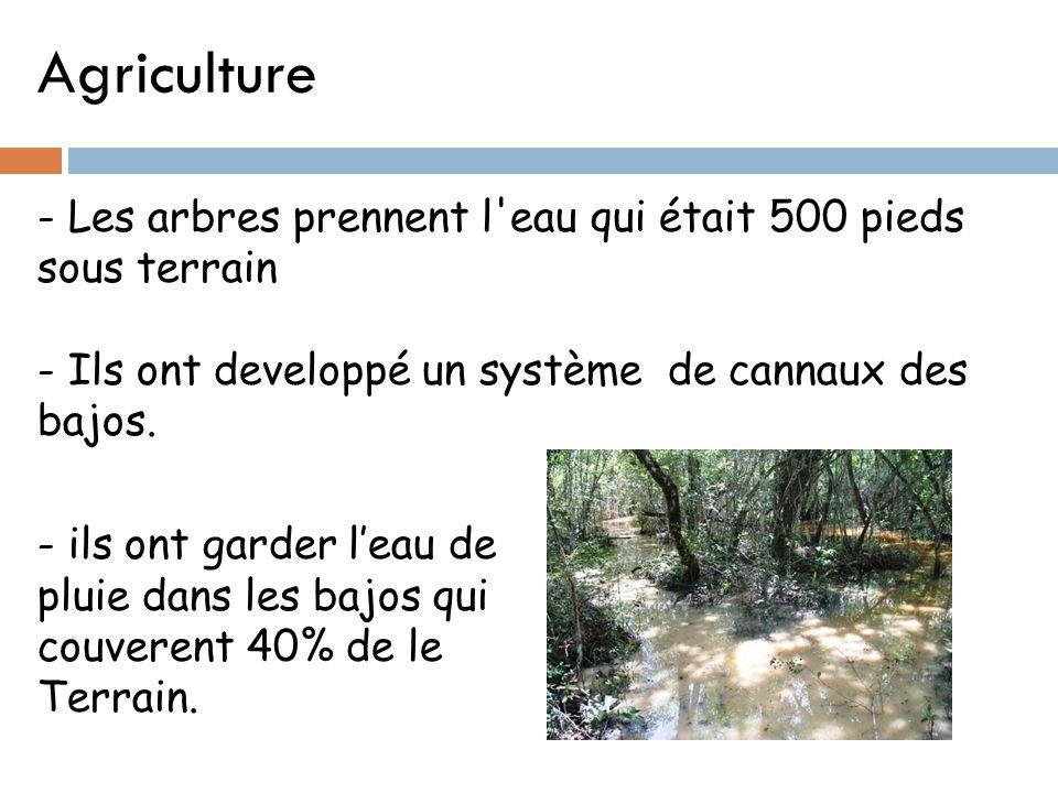 Agriculture - Les arbres prennent l'eau qui était 500 pieds sous terrain - Ils ont developpé un système de cannaux des bajos. - ils ont garder l'eau d