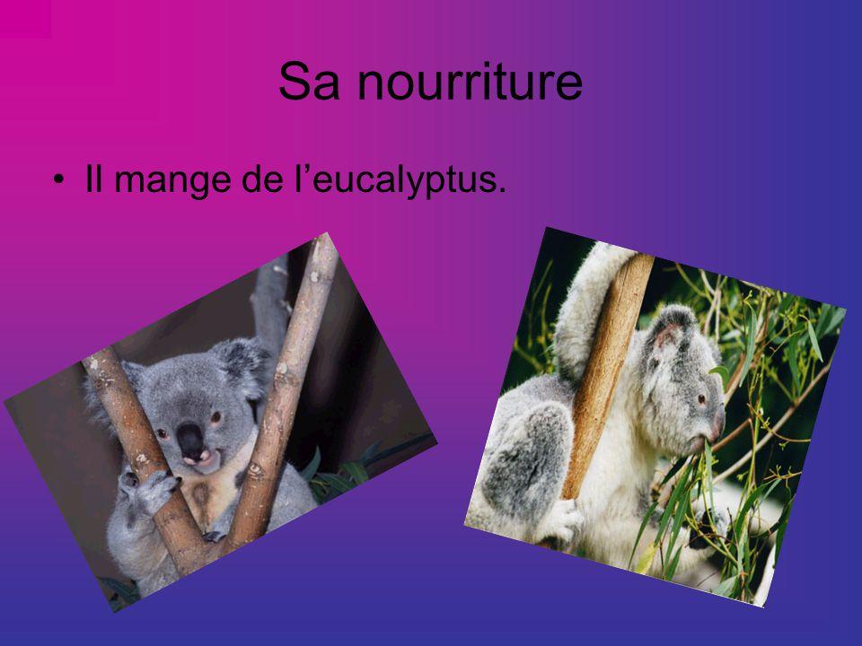 Sa nourriture Il mange de l'eucalyptus.