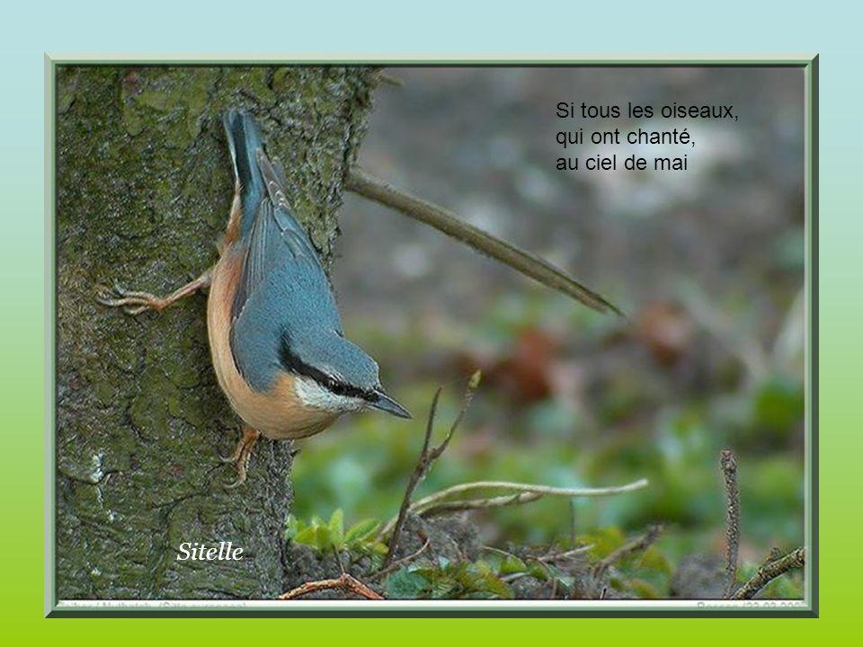 Sitelle Si tous les oiseaux, qui ont chanté, au ciel de mai