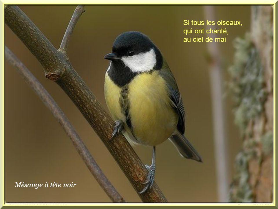 Mésange à tête noir Si tous les oiseaux, qui ont chanté, au ciel de mai