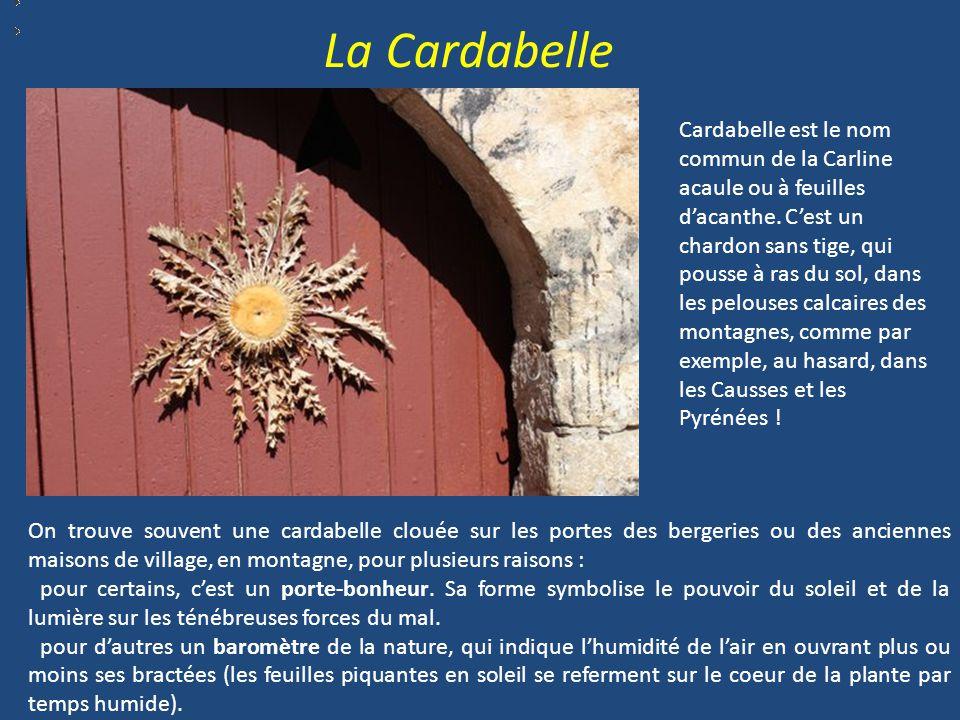 Cardabelle est le nom commun de la Carline acaule ou à feuilles d'acanthe.
