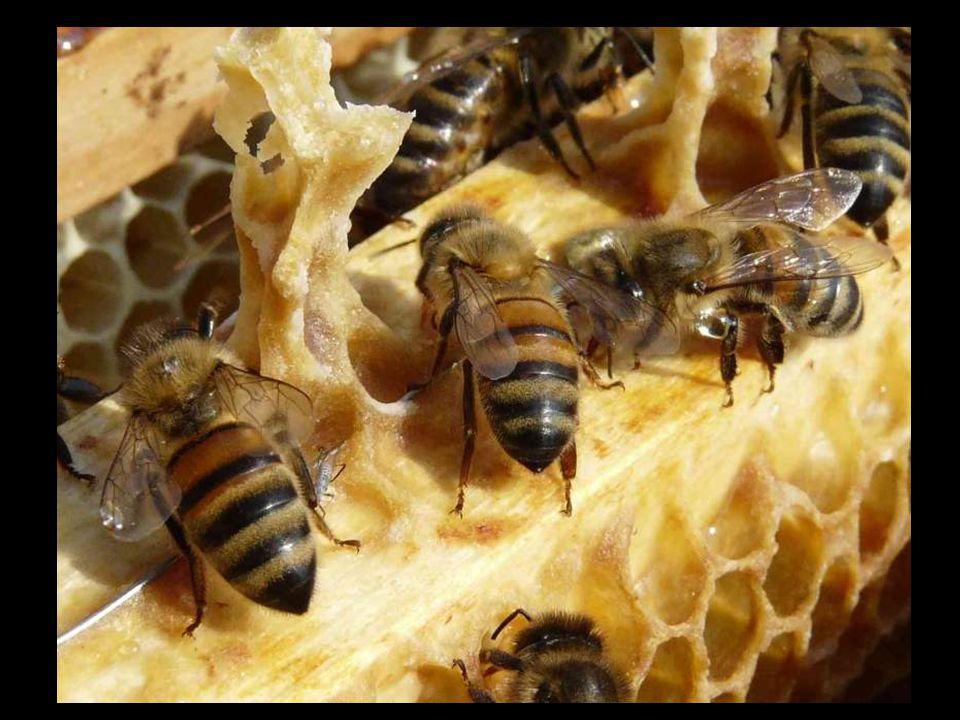 Echange de nectar par trophallaxie, elle-même provoquée par contact antennaire.