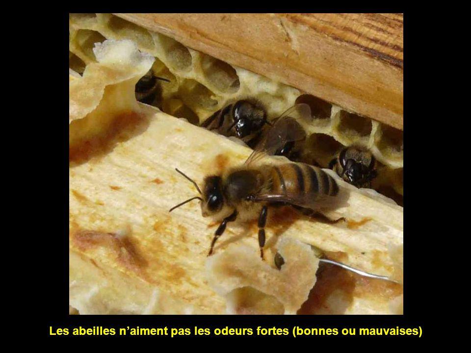 Les abeilles piquent plus souvent les personnes violentes (en gestes ou en paroles)