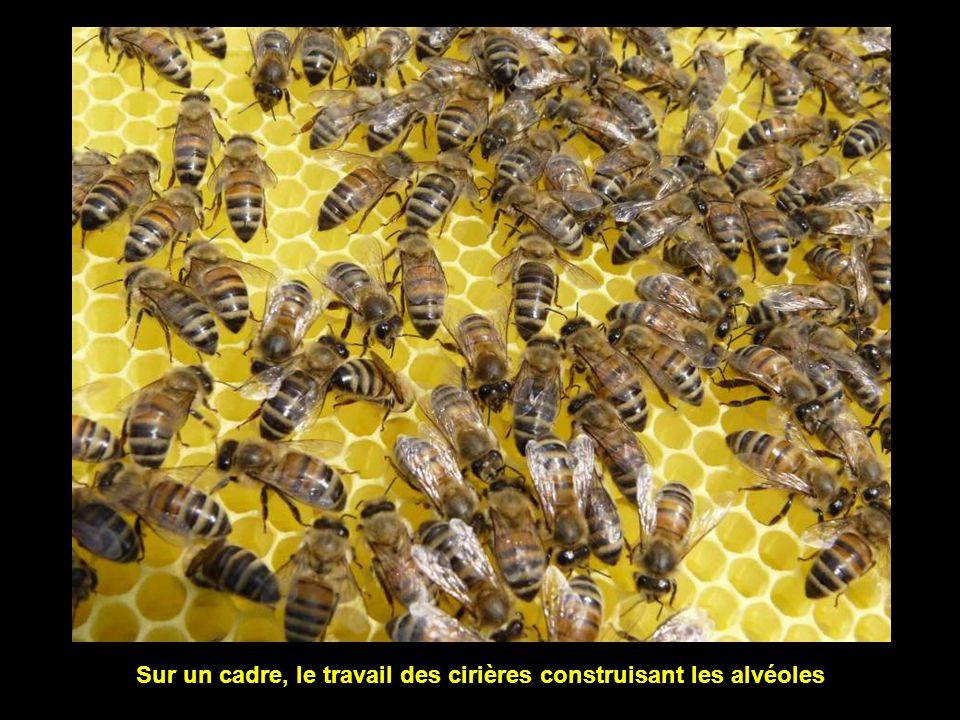 Les abeilles n'aiment pas les odeurs fortes (bonnes ou mauvaises)