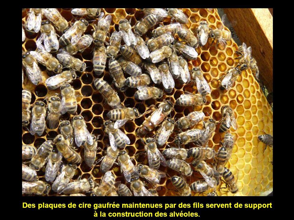 Les alvéoles sont bâties en oblique pour empêcher le miel de s'écouler vers l'extérieur.