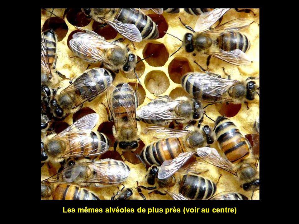Ce cadre accueille des alvéoles utilisées pour l'élevage des larves