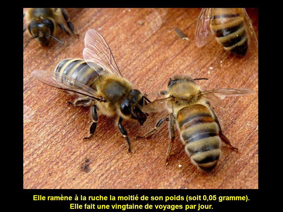 Le poids d'une abeille est de 1/10 ème de gramme