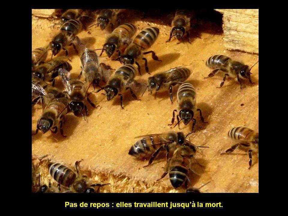 Les abeilles travaillent sans répit, jour et nuit.