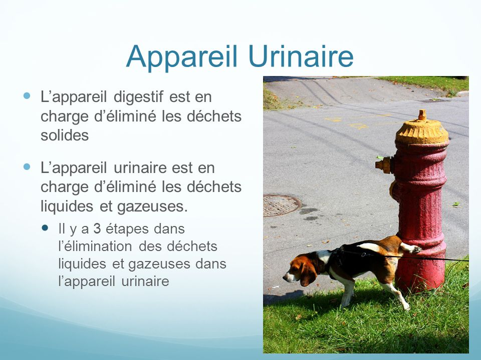 Appareil Urinaire L'appareil digestif est en charge d'éliminé les déchets solides L'appareil urinaire est en charge d'éliminé les déchets liquides et