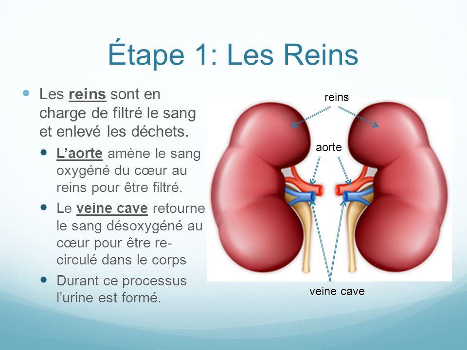 Étape 1: Les Reins Les reins sont en charge de filtré le sang et enlevé les déchets. L'aorte amène le sang oxygéné du cœur au reins pour être filtré.